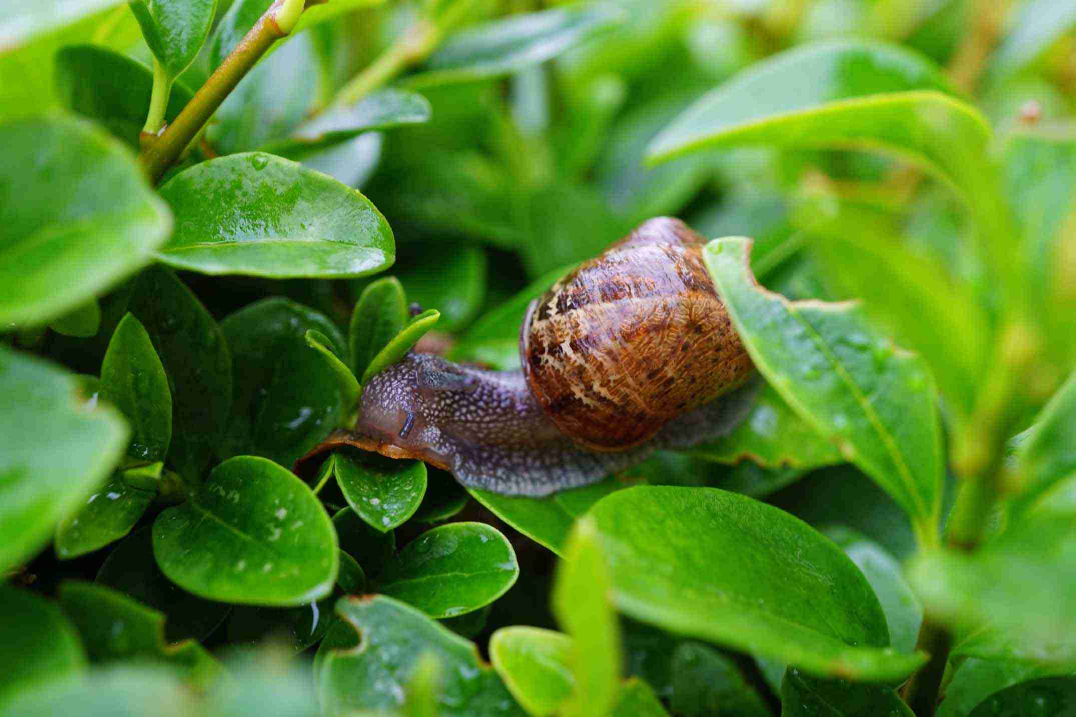 how to keep snails and slugs out of your garden naturally 5fdc88d0129e6 How To Hold Snails And Slugs Out Of Your Backyard Naturally